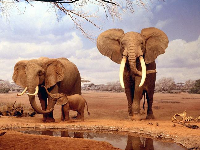 Το σκαθάρι της κοπριάς Τίγρης Μυρμήγκι φυλοκόπος Καφέ αρκούδα ζώα Εικόνες γορίλας Βόδι Αφρικανικός ελέφαντας ανακόντα Αετός