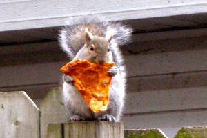Οι σκίουροι κλέβουν μανιωδώς... πίτσα