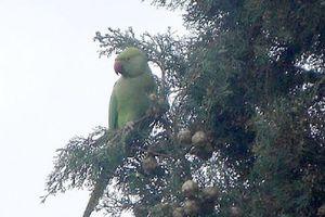 Εξωτικοί παπαγάλοι στα δέντρα της Ρεματιάς στο... Χαλάνδρι
