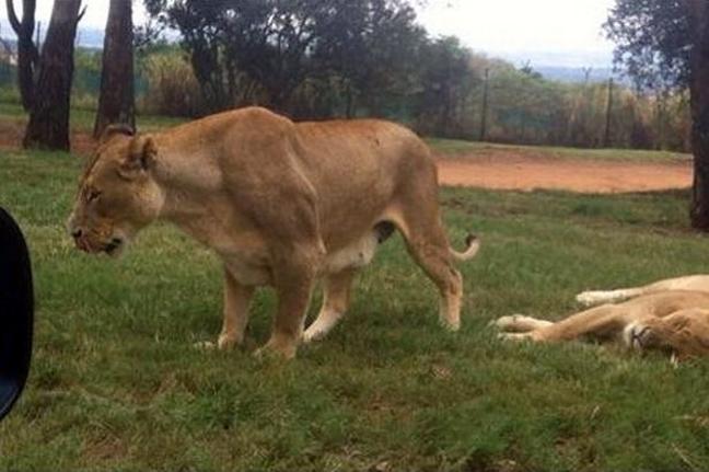λιοντάρι επίθεση Εικόνες