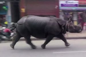 Αφηνιασμένος ρινόκερος σκορπά το θάνατο