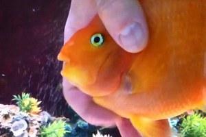 Το ψάρι που λατρεύει τα χάδια!