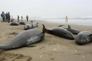 Οι ακτές της Ιαπωνίας γέμισαν νεκρά δελφίνια