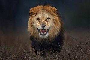Λιοντάρι που ζούσε σε αυλή σπιτιού κατασπάραξε τον ιδιοκτήτη του
