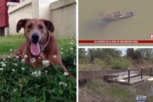 Αλιγάτορας βγήκε στη στεριά και καταβρόχθισε σκύλο!