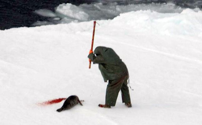 Φώκιες θανατώνονται στον Καναδά