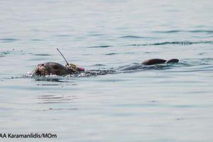 Μικρή φώκια πλατσουρίζει ελεύθερη στο Αιγαίο