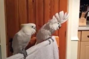 Ο παπαγάλος που λατρεύει τον Έλβις