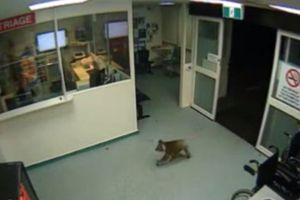 Κοάλα κάνει βόλτες σε νοσοκομείο της Αυστραλίας