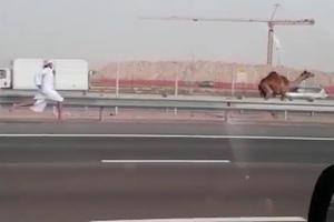 Κυνηγώντας καμήλα στην εθνική οδό