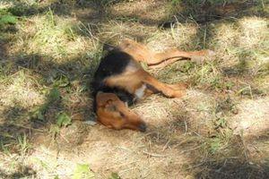 Δηλητηρίασαν μαζικά 26 ποιμενικούς σκύλους