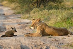 Η αλεπού που τα έβαλε με μια ολόκληρη οικογένεια λιονταριών!