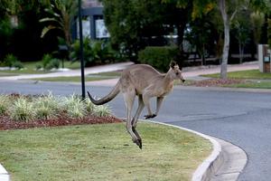 Δίμετρο καγκουρό βολτάρει σε γειτονιά του Μπρισμπέιν