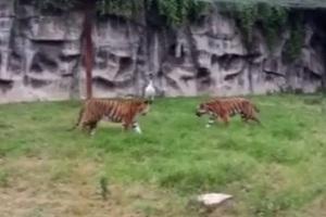 Γερανός άντεξε σε μάχη με δύο τίγρεις!