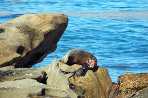 Υπό παρακολούθηση τραυματισμένη φώκια στο Σίδνεϊ