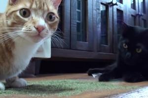 Όταν οι γάτες συνωμοτούν για να κατακτήσουν τον κόσμο