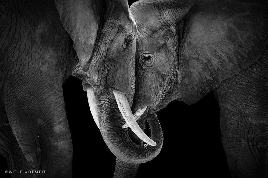 Elephant-Love-2__880