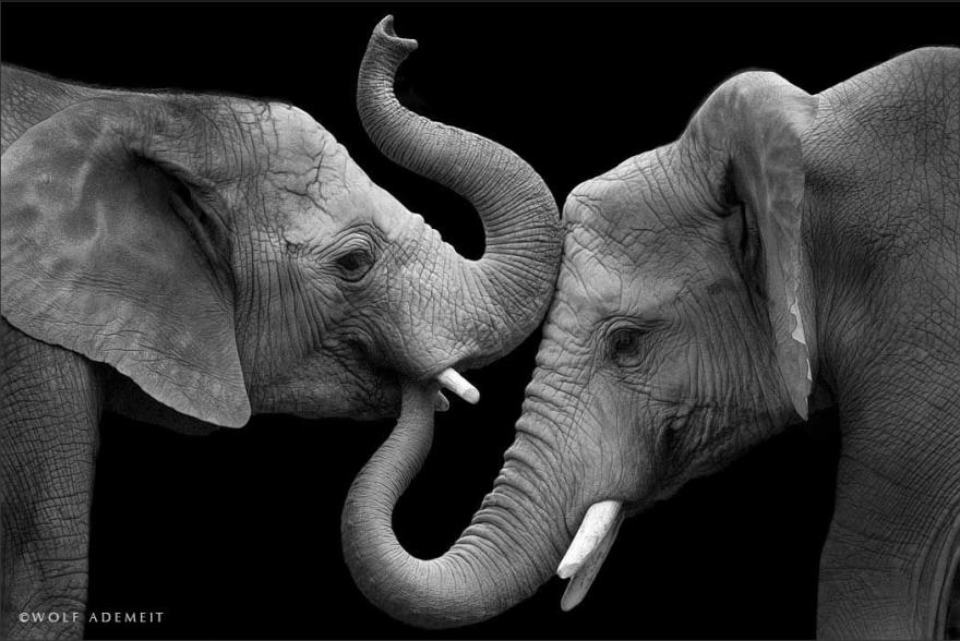 Elephant-Love-5__880
