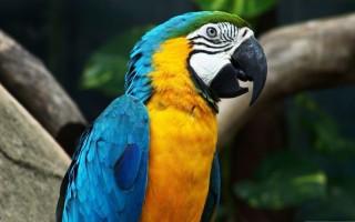 Γιατί ο παπαγάλος παπαγαλίζει