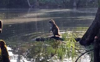 Ρακούν... βολεύτηκε πάνω σε αλιγάτορα