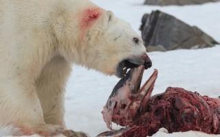Πολικές αρκούδες κατασπαράζουν δελφίνια