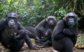 Χιμπατζής-τυμπανιστής εξέπληξε τους επιστήμονες
