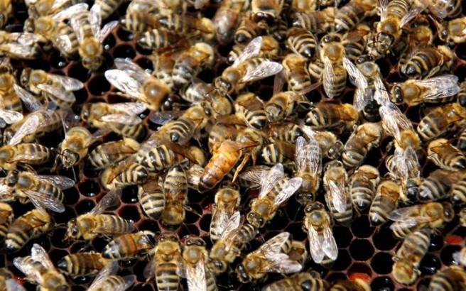 Μέλισσες εξαφανίζονται από ιό που εξαπλώνει ο άνθρωπος