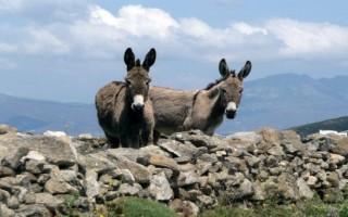 Νέος κανονισμός για τους ονηλάτες του Οροπεδίου Λασιθίου