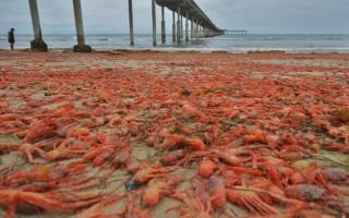 Κόκκινη η ακτή από επέλαση καβουριών