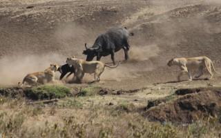 Ηρωικά ζώα που με αυτοθυσία σώζουν άλλα ζώα