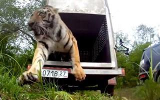 Απελευθερώνοντας μια τίγρη