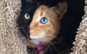 Μία διπρόσωπη γάτα