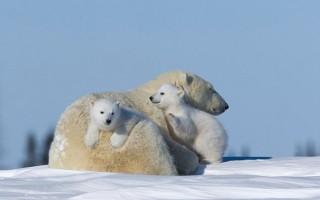 Η κλιματική αλλαγή απειλεί τις πολικές αρκούδες