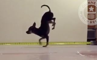 Ο πιο γρήγορος σκύλος στα δύο πόδια