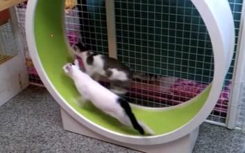 Η... χαμστεροποίηση των γατιών