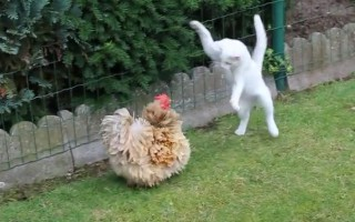 Όταν η γάτα συνάντησε την κότα