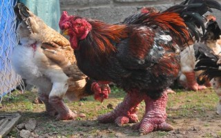 Το κοτόπουλο με τα πόδια δράκου