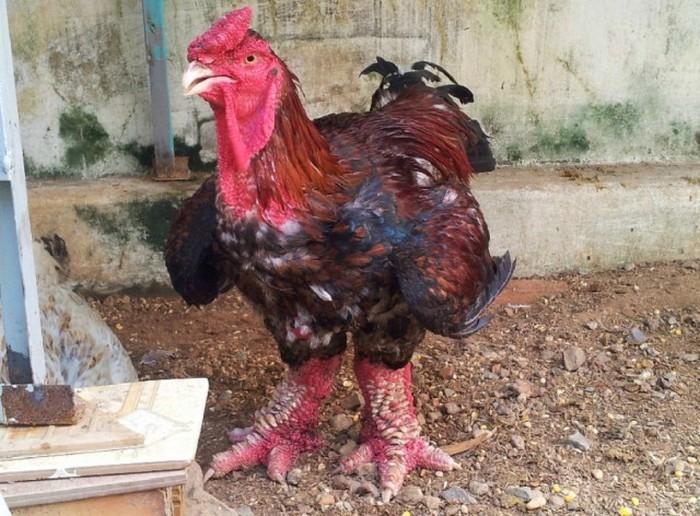 dong_tao_chicken_03