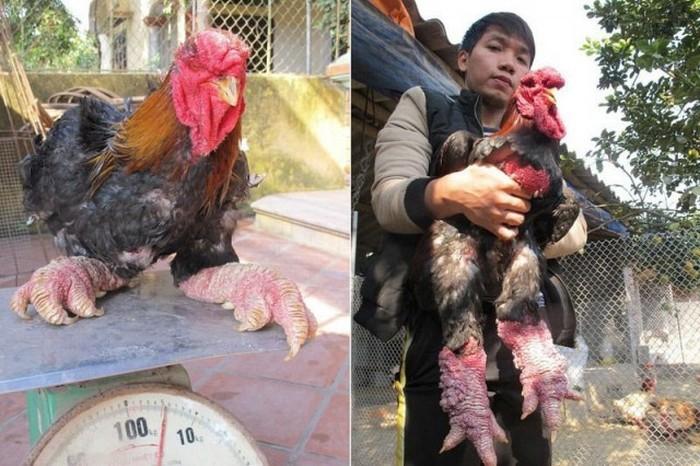 dong_tao_chicken_04