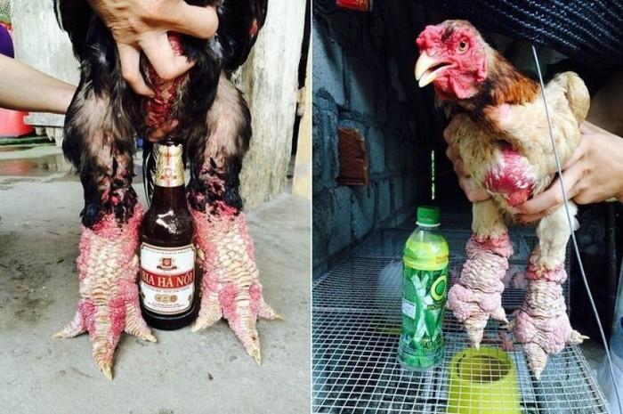 dong_tao_chicken_05