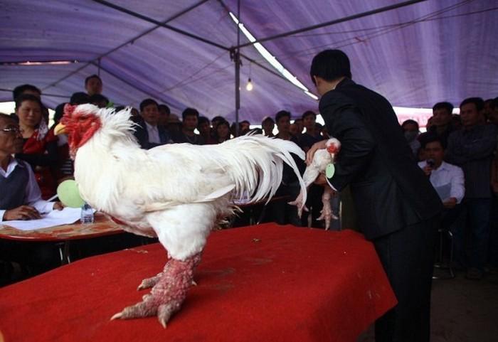 dong_tao_chicken_06