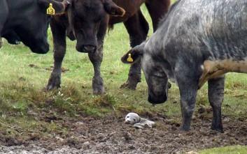 Μικρή φώκια σε… κοπάδι με αγελάδες!
