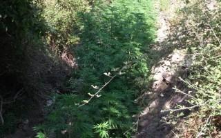 Εντοπίστηκαν φυτείες κάνναβης στη Μεσσηνία