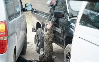 Λεοπάρδαλη επιτέθηκε σε οδηγό σαφάρι