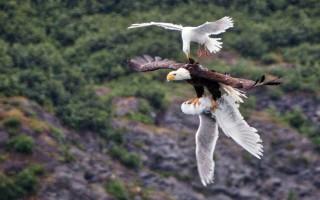 Αετός δίνει μάχη με δυο γλάρους