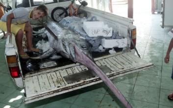 Βρήκε στα δίχτυα του ξιφία 4 μέτρων και 360 κιλών