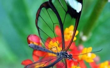 Πεταλούδες με διάφανα φτερά