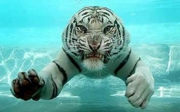 Τίγρεις κάτω από το νερό