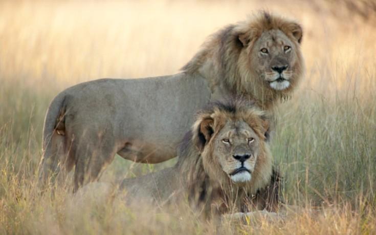 Πορεία προς την ελευθερία για 33 λιοντάρια