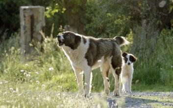 Αγέλη αδέσποτων σκυλιών κατασπάραξε ζώα στην Ηλεία